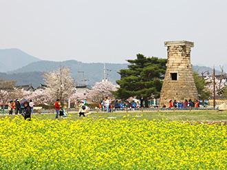 菜の花咲く 春の韓国