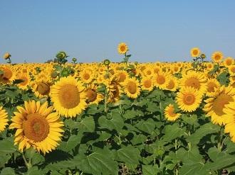 季節限定!旬のひまわり畑を見に行こう!