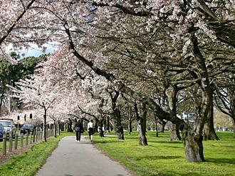 桜、スイセン、バラ