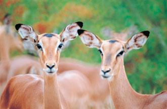 ガゼル チョベ国立公園